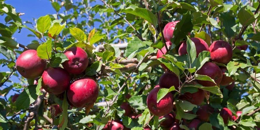 U-pick apple orchard corvallis or