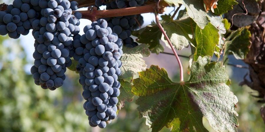 wine vineyard in oregon
